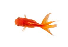 Close up of goldfish swimming in fishbowl. Isolated on white. Concept of wild nature and environment stock photos