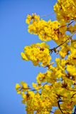 Close-up goled tree flower (yellow pui) Royalty Free Stock Image