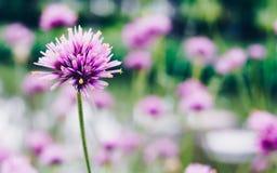 Close up of gomphrena globosa or Fireworks Flower a beautiful pi Stock Photos