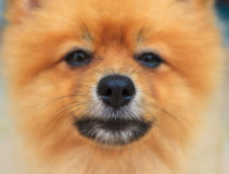 Close up good healthy nose of pomeranian dog Stock Image