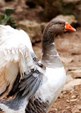 Close up of a goose Stock Photos