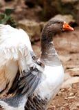Close up of a goose Stock Photos