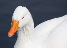 Close-up from goose Royalty Free Stock Photography