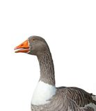 Close-up of a goose Stock Image