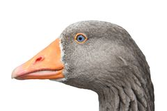 Close-up of a goose Stock Images