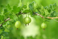 Close-up of  Gooseberry on a branch on a green background. Royalty Free Stock Images