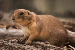Close Up of a Gopher. Looking in camera Royalty Free Stock Image