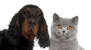 Close-up of Gordon Setter puppy, 6 months old Stock Photography