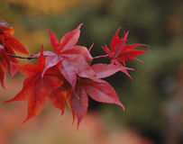 Close up of gorgeous scarlet Maple leaves Royalty Free Stock Photography