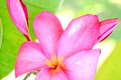 Close up of gorgeous tropical Frangipani flowers Royalty Free Stock Image