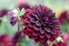 A close up gorgeous velvet flower named dahlia with perfect shaped petals of all possible wine-colors undertones. royalty free stock photos