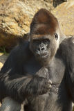 Close-up of gorilla Royalty Free Stock Photo