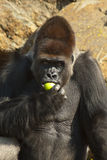 Close-up of gorilla eating an apple Stock Photography