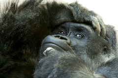 Close up of gorilla with expressive face. And pose Stock Images