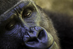 Close up of a gorilla face Royalty Free Stock Image