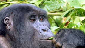 Close-up face of leafs eating gorilla with thoughtfully looking brown eyes. Close-up gorilla face with thoughtfully looking brown eyes while eating leafs, left Stock Photos