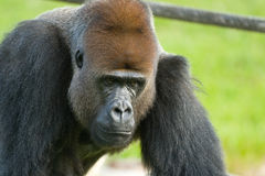 Close-up of a gorilla Royalty Free Stock Photography