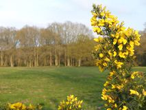 Close-up of gorse plant flowers with a blurred background, Chorleywood Common stock images