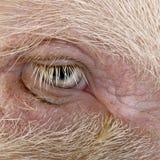 Close-up of Gottingen minipig eye royalty free stock photo