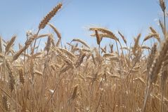 Close-up grain in afternoon sun. Royalty Free Stock Photography
