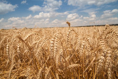 Close up of grain field Royalty Free Stock Photos