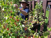 Close-up of Grandpa picking red currents Stock Photography