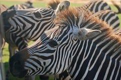 Close-up Grant's Zebra Heads Royalty Free Stock Photo