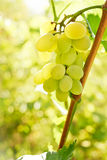 Close-up of grape bunch Royalty Free Stock Images