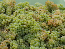 Close-up of grape harvest Stock Photo