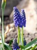 Grape hyacinths Royalty Free Stock Photos