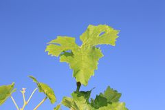 Grape leaf bathing in the sun on a vine front cover- travel to European wine country!. Close up of grape leaves at a vineyard. Travel to Europe always includes a stock image