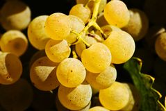 Close up of grapes Stock Photography