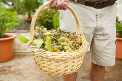 Close up of grapes basket, holded by senior man hand. Stock Photo