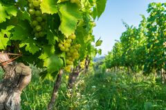Close up of grapes in a cultivated vineyard in a hilly Zagorje region in Croatia, Europe, during a summer or autumn day. Close up view of grapes in a cultivated royalty free stock photos