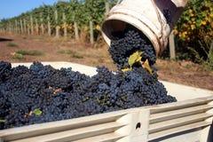 Close-up of Grapes Dumped Into Bin. Close up bucket of grapes being dumped into a full bin Stock Photos