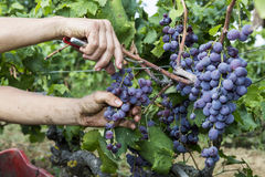 Close up of grapes during grape harvesting Royalty Free Stock Photography