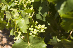 Close-up of grapes on a grapevine Stock Photos