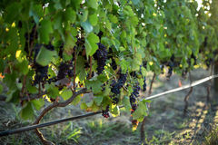 Close up of grapes growing on plants Royalty Free Stock Image