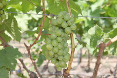 Close-up of grapes hanging Stock Images