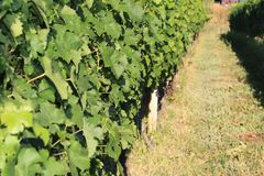 Grapes leaves in a row bathing in the sun on a vine front cover- travel to European wine country!. Close up of grapes vines at a vineyard. Travel to Europe stock photography