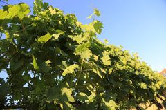 Grapes leaves in a row bathing in the sun on a vine front cover- travel to European wine country!. Close up of grapes vines at a vineyard. Travel to Europe royalty free stock photo