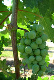 Close up of grapes in vineyard Royalty Free Stock Photography