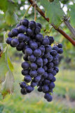 Close up of grapes in a Vineyard Royalty Free Stock Photography