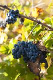 Close up of grapes in a vineyard in the south of France.  royalty free stock images