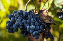 Close up of grapes in a vineyard in the south of France.  stock photos