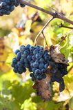 Close up of grapes in a vineyard in the south of France.  stock photography
