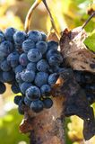 Close up of grapes in a vineyard in the south of France.  stock image