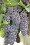 Grapes on vine- travel to European wine country!. Close up of grapes at a vineyard. Travel to Europe always includes a wine tour and the famous wine destinations royalty free stock images