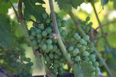 Grapes on vine- travel to European wine country!. Close up of grapes at a vineyard. Travel to Europe always includes a wine tour and the famous wine destinations stock images