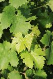 Grape leaves on a vine front cover- travel to European wine country!. Close up of grapes at a vineyard. Travel to Europe always includes a wine tour and the stock photos